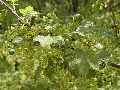 Viinimarjamehua keitetään taas kesällä, ainakin herukankukkien runsaus antaa niin odottaa.