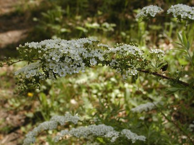 Norjanangervon oksat peittyvät valkoisiin kukkiin.