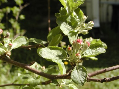 Tänä vuonna omenakin kukkii runsaan sadon; vielä kukat ovat nupuilla.