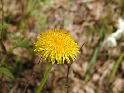 Ja missä ei muuta ole kukassa, siellä loistaa voikukan kehrä.