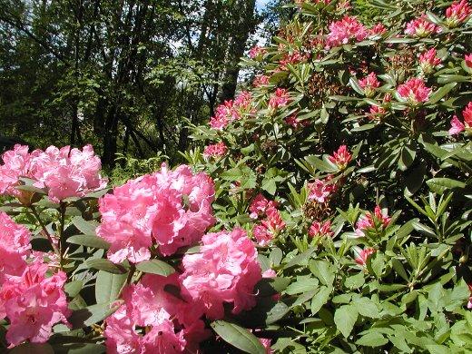 Eukkomamman alppiruusupuistossa rhododendronit kukkivat juuri nyt.