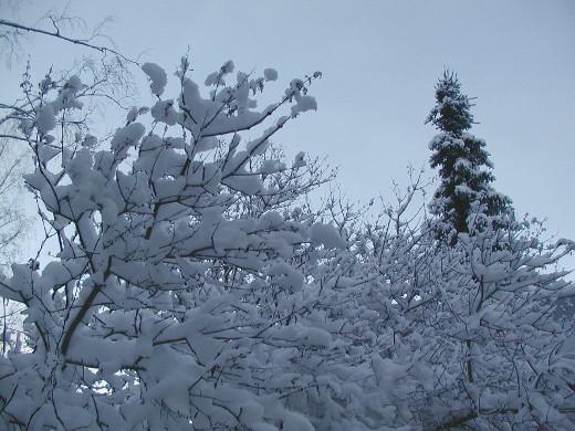 Puut ja pensaat saivat kunnon lumikuorman