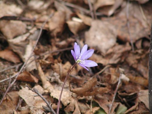 Ensimmäinen löytyi omasta pihasta: kevään ensimmäinen ja ehkä ainut sinivuokko.