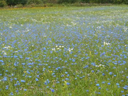 Kun torjunta-aineita ei ole käytetty kukkii rukiin rikkaruoho kauniisti.