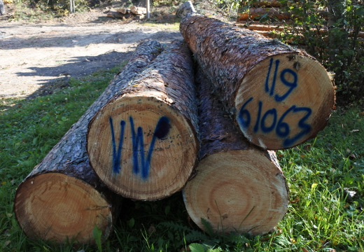 Metsänhoidollisesti kaatui tämäkin vanha mänty.