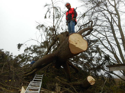yli 60 vuotta paikalla (ainakin) kasvanut puu kaatui.