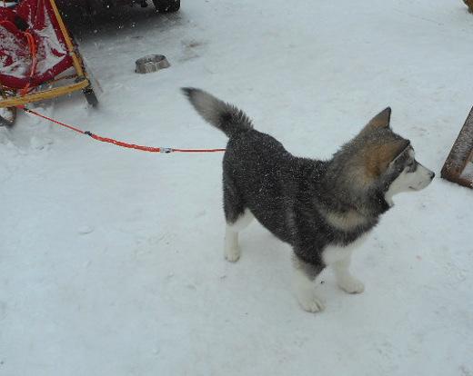 Ihan pikkuinen,muutaman kuukauden ikäinen Alaskan malamuutti Kuura katseli touhukkaana ympärilleen.
