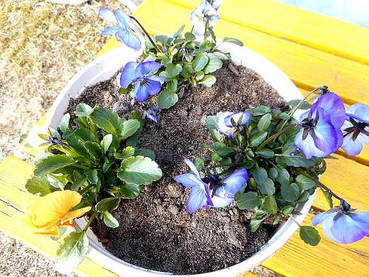 Ppäiväkuvassa sitkeät kukkaset ovat jälleen entistä ehompia!