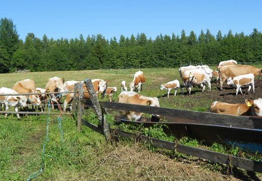 Laitumella elämästä nautiskelivat lehmät katsellen raukeina ihmisiä - mitähän nuo kaikki täällä tekevät!