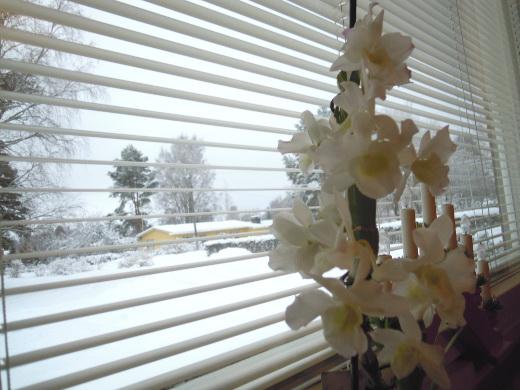 Sama orkidea kukkii anopin ikkunalla jo kolmantena jouluna peräkkäin.