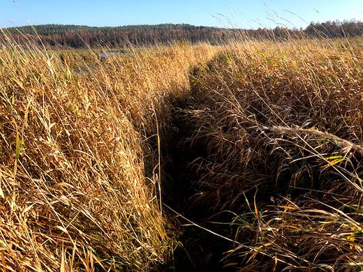 Pieni polku vie keskelle Nuorajärven ruskeankeltaista kosteikkoa.