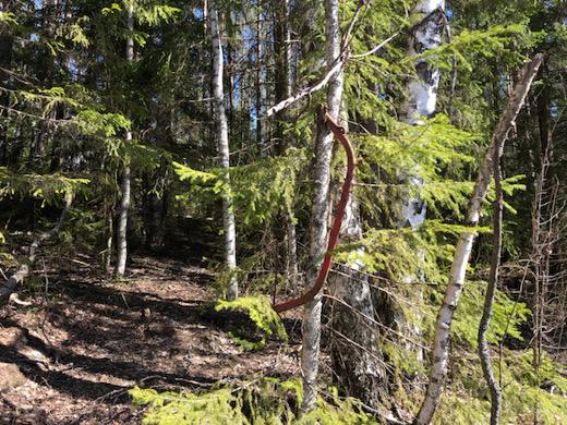 Ihan kaikkia tarvekaluja ei Metsähallitus siivonnut: pokasaha unohtui puun oksaan.